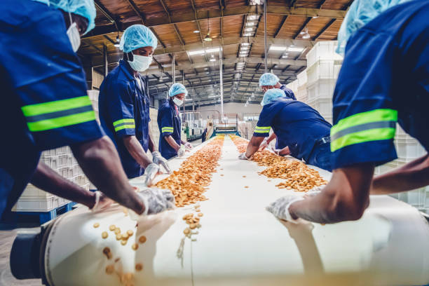 Production Line Workers Collecting Freshly Baked Biscuits from the Conveyor Belt stock photo