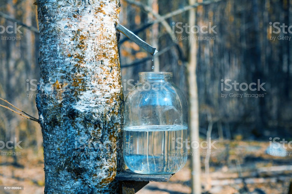 Production of birch sap in glass jar in the forest. Springtime foto