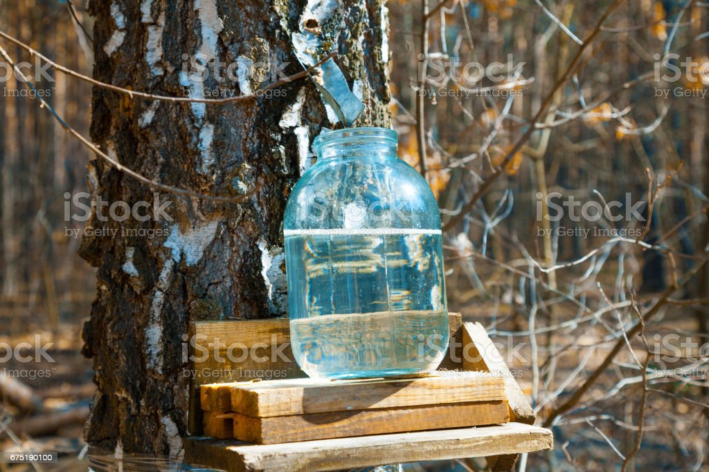 Production of birch sap in glass jar in the forest. Springtime stock photo