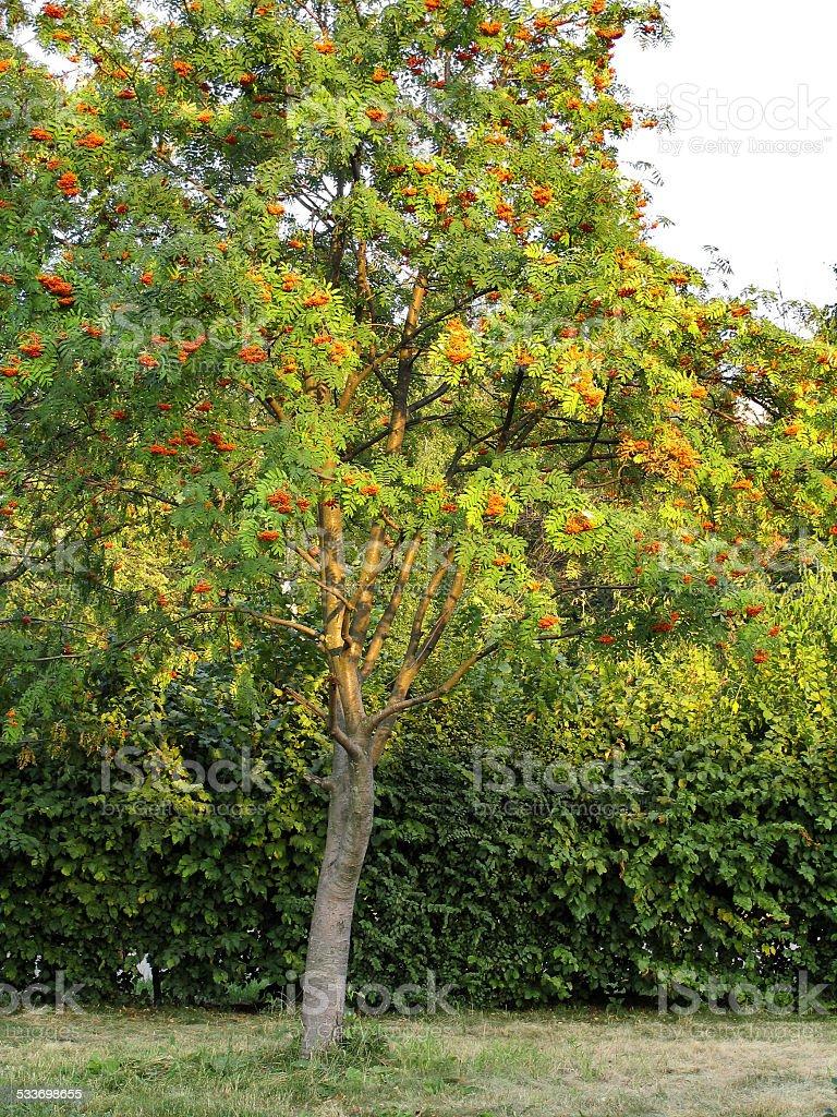 Productive Tree Of Rowan With Orange Berries In Garden City Stock