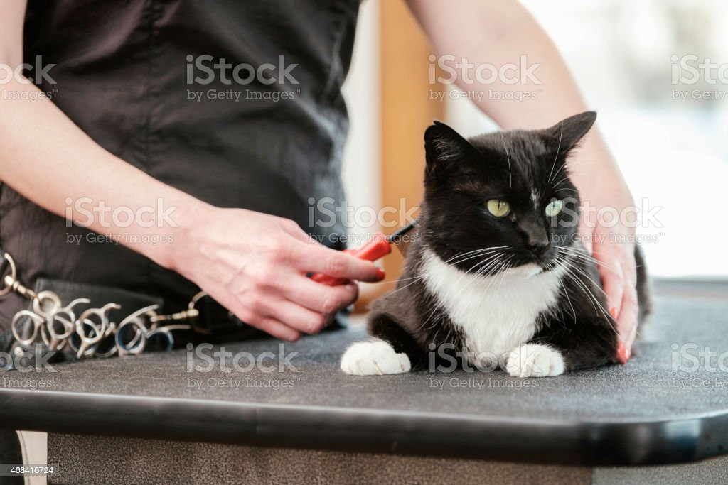 Professional Cat Groomer in a Pet Salon stock photo