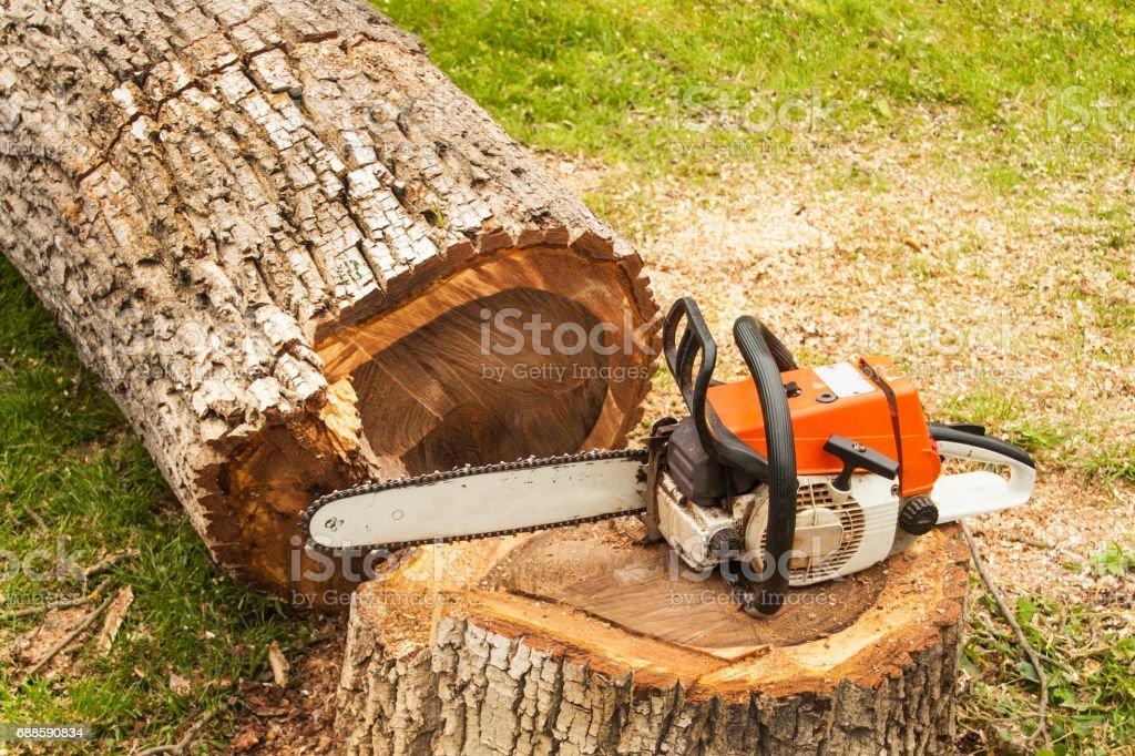 Professional chainsaw is on walnut tree. Gasoline saw stock photo