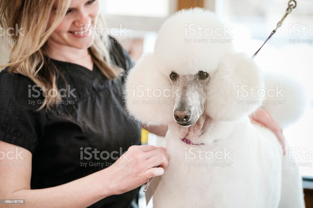 Professional Dog Groomer in a Pet Salon stock photo