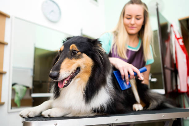 Professional dog groomer with rough collie dog picture id1083661042?b=1&k=6&m=1083661042&s=612x612&w=0&h=i ntlm2quk5geulu4l vpadagpk5cy5l6dw ctf3wji=