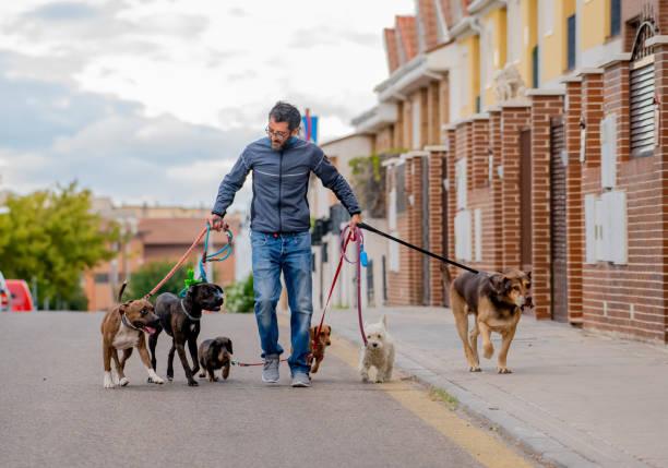 professional dog walker or pet sitter walking a pack of cute different breed and rescue dogs on leash at city street. - dodatkowa praca zdjęcia i obrazy z banku zdjęć
