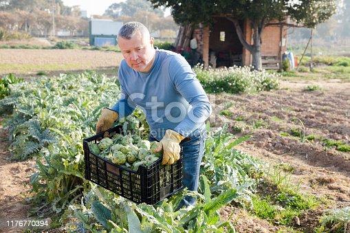 Man  professional gardener holding crate with artichokes in garden outdoor