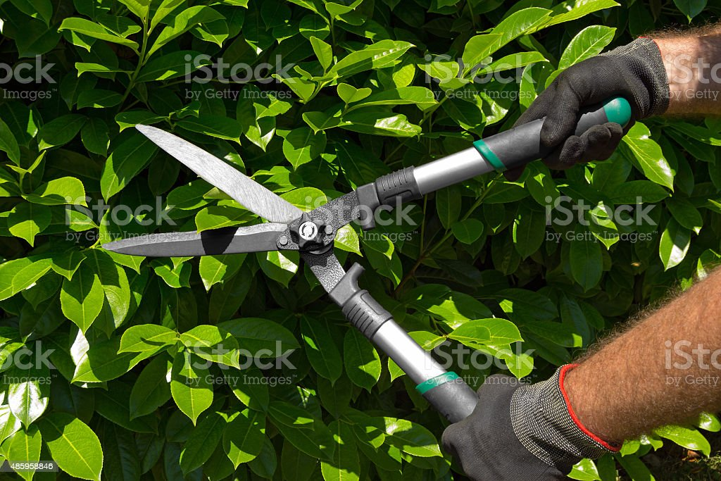 Professional Gardener Pruning a Hedge stock photo