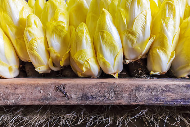 Professional growth of chicory in a greenhouse stock photo