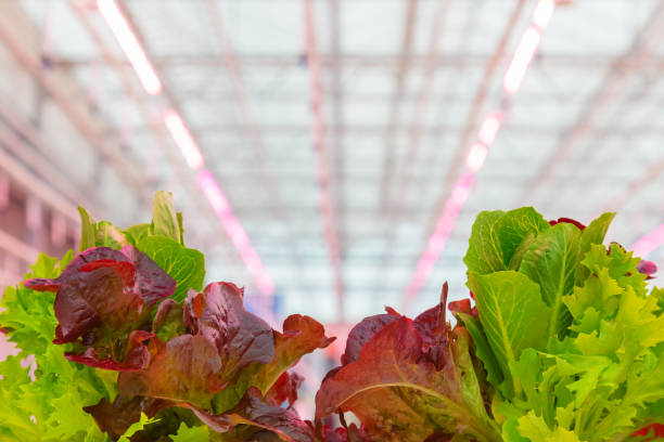 Professional growth of lettuce with pink led lighting stock photo