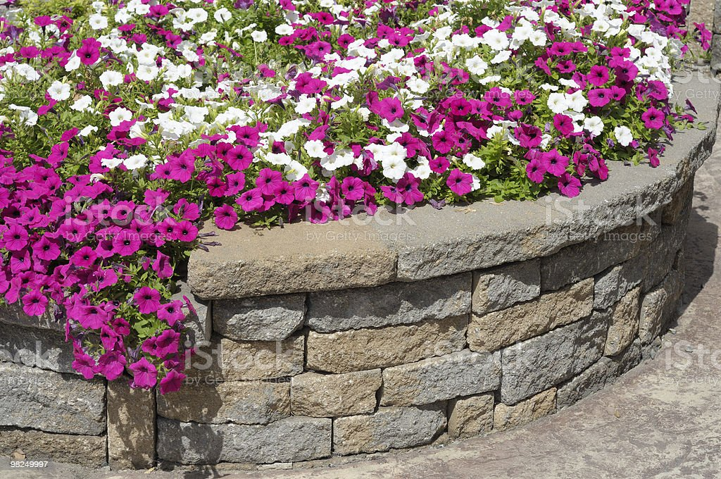 Professional Landscaping with Petunia Flower Bed stock photo