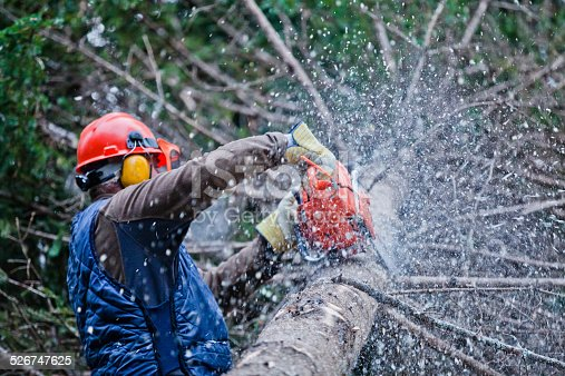 Professional Lumberjack Cutting a big Tree in the Forest during the Winter