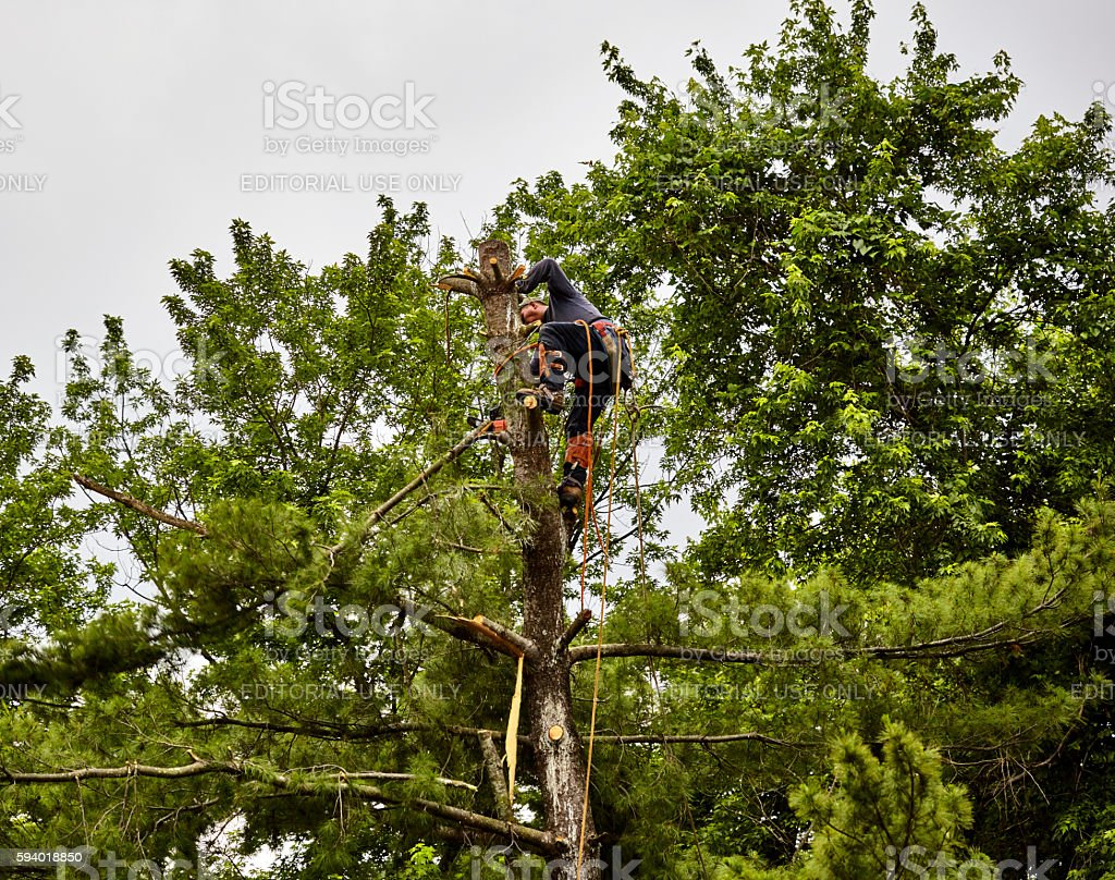 Professional Tree Trimmer cutting the Top off a  Pine Tree stock photo
