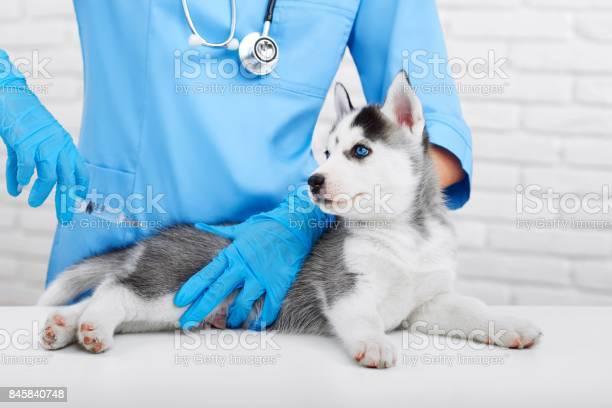 Professional veterinarian and little husky puppy picture id845840748?b=1&k=6&m=845840748&s=612x612&h=mxjyglijon6ca0zioa2tegra  qeh7hfh jofl07pq4=