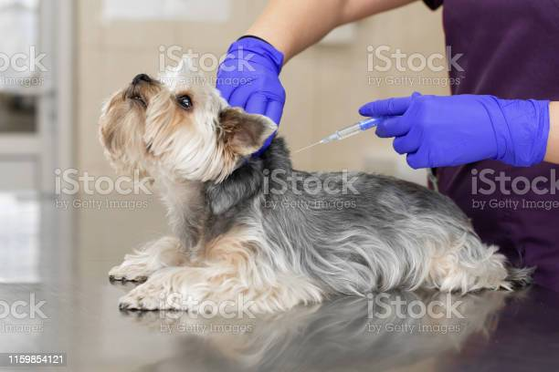 Professional veterinary doctor in blue rubber gloves do injection picture id1159854121?b=1&k=6&m=1159854121&s=612x612&h=w9ekn8vpqkk9kxcu7o8vu fuebtvl9gnn9zw0le olq=