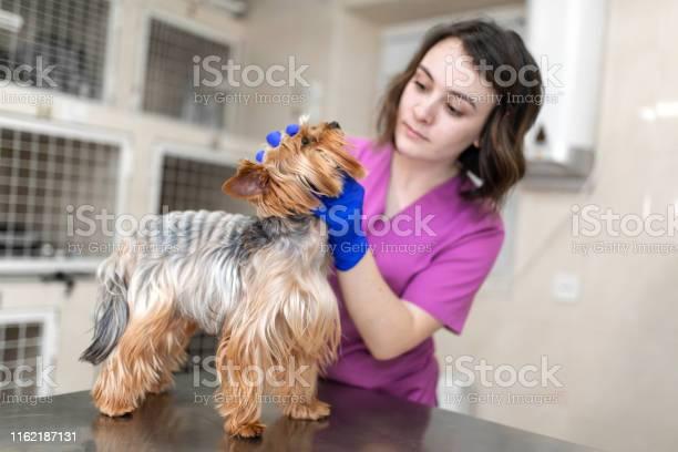 Professional veterinary doctor vaccinates a small dog breed yorkshire picture id1162187131?b=1&k=6&m=1162187131&s=612x612&h=smdgv4zqi76rsck7ti 4lpt6uudyerzvepjz98ozfea=