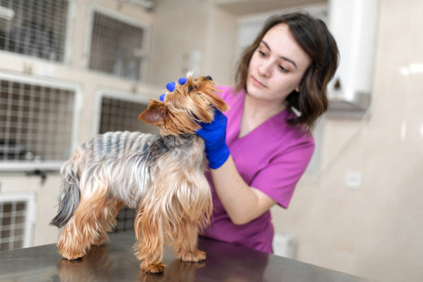 Professional veterinary doctor vaccinates a small dog breed yorkshire picture id1162187131?b=1&k=6&m=1162187131&s=612x612&w=0&h=pg zqjxg5uqqt3jjjzzl7ep7aszjedttpv0vvwauoae=