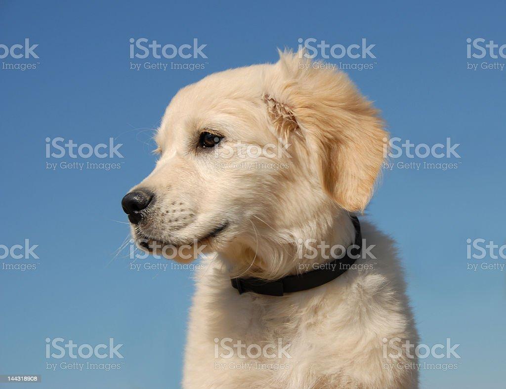 profil of  puppy golden retriever royalty-free stock photo