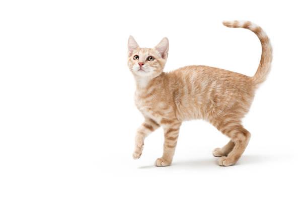 Profile Buff Tabby Playful Kitten stock photo