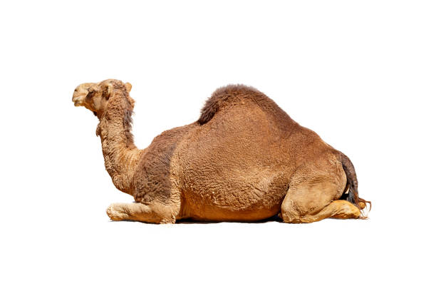 camello de perfil aislado en blanco - camello fotografías e imágenes de stock