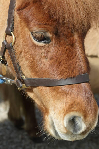 profile head of brown shetland pony in close up - whiteway pony stock photos and pictures