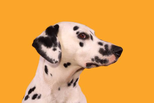 Profile head shot of a dalmatian picture id1126441789?b=1&k=6&m=1126441789&s=612x612&w=0&h=u0kl9tftzzaekfr4f42aanxhfc8t7m53zzeew28seum=
