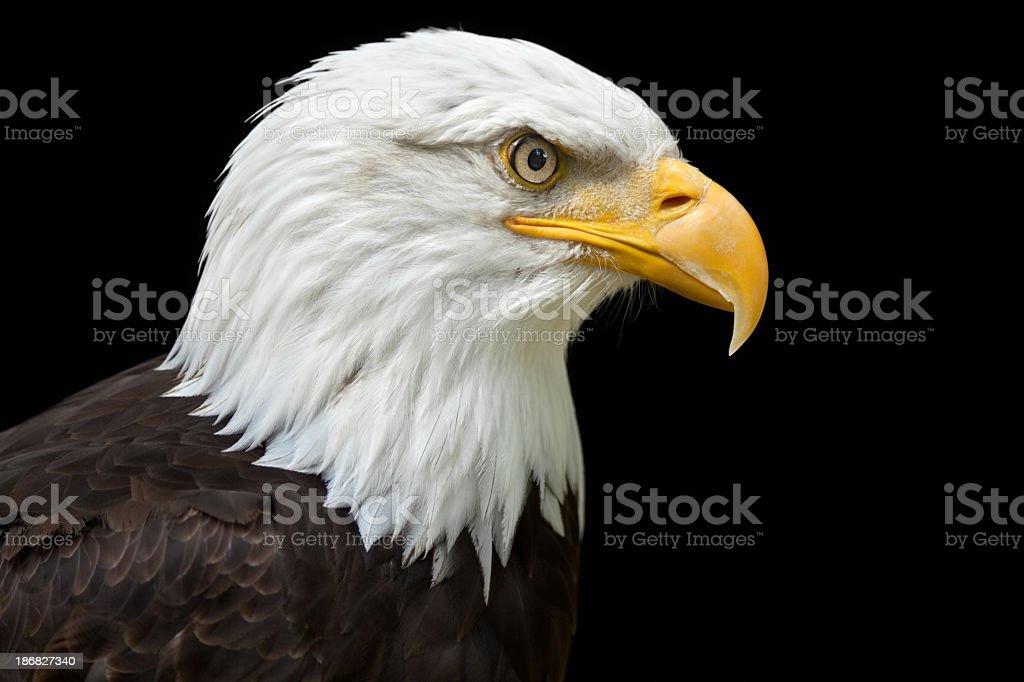 Hermoso águila calva (Haliaeetus leucocephalus) XXXL - foto de stock