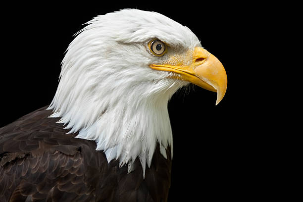 A profile of a bald eagle on a black background stock photo