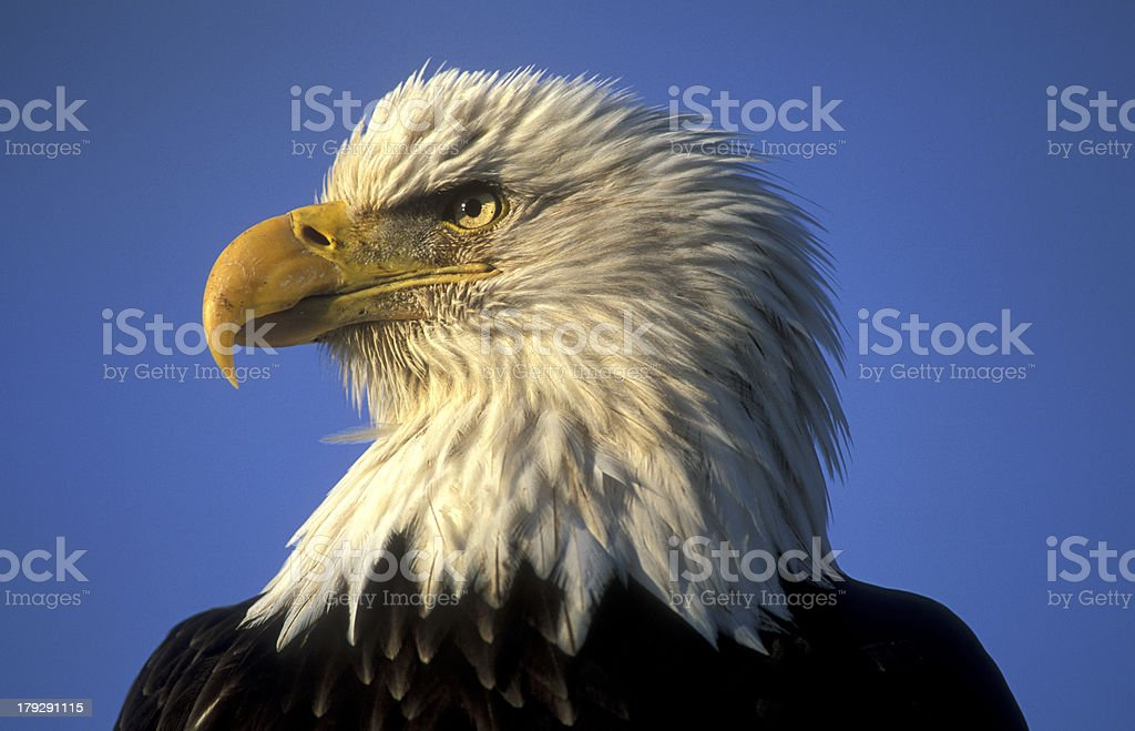 Profile of a bald eagle royalty-free stock photo