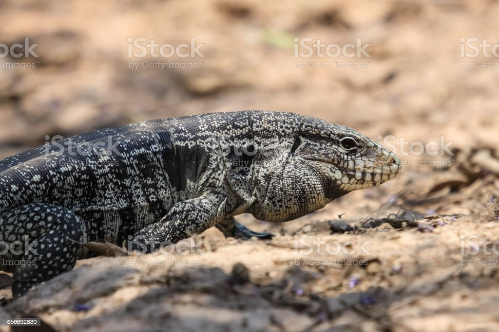 Profile of a Black and white tegu – Foto