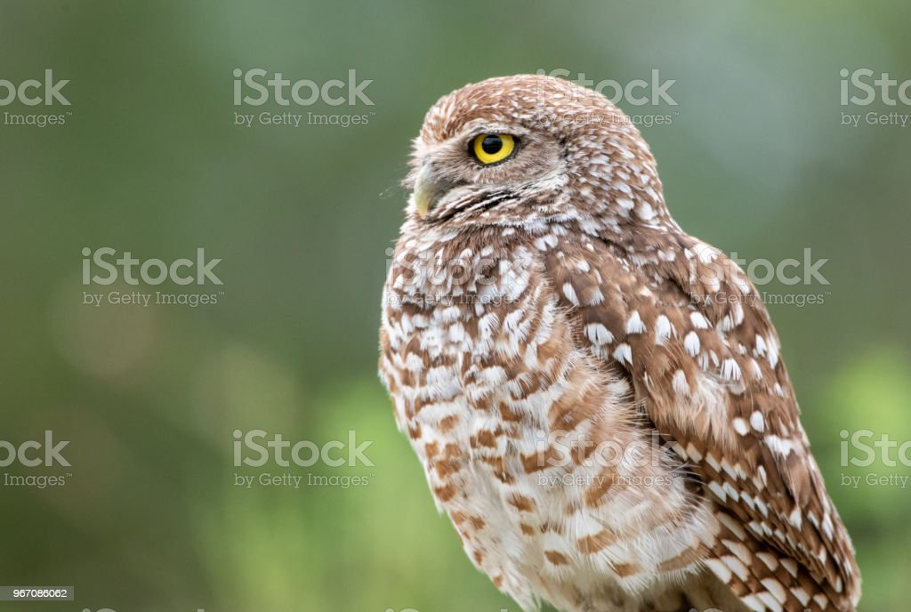 Profile of a burrowing owl stock photo