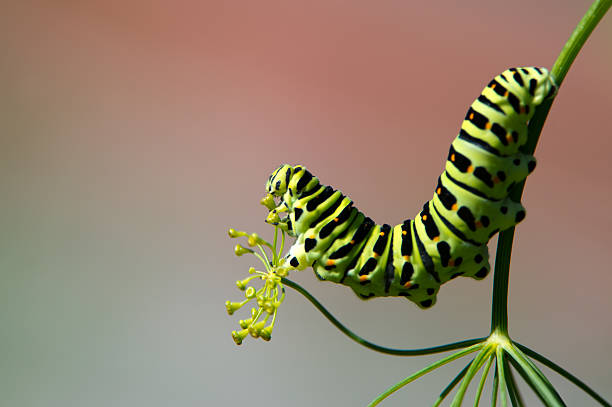 Profile of a caterpillar, the Old World Swallowtail (Papilio machaon) stock photo