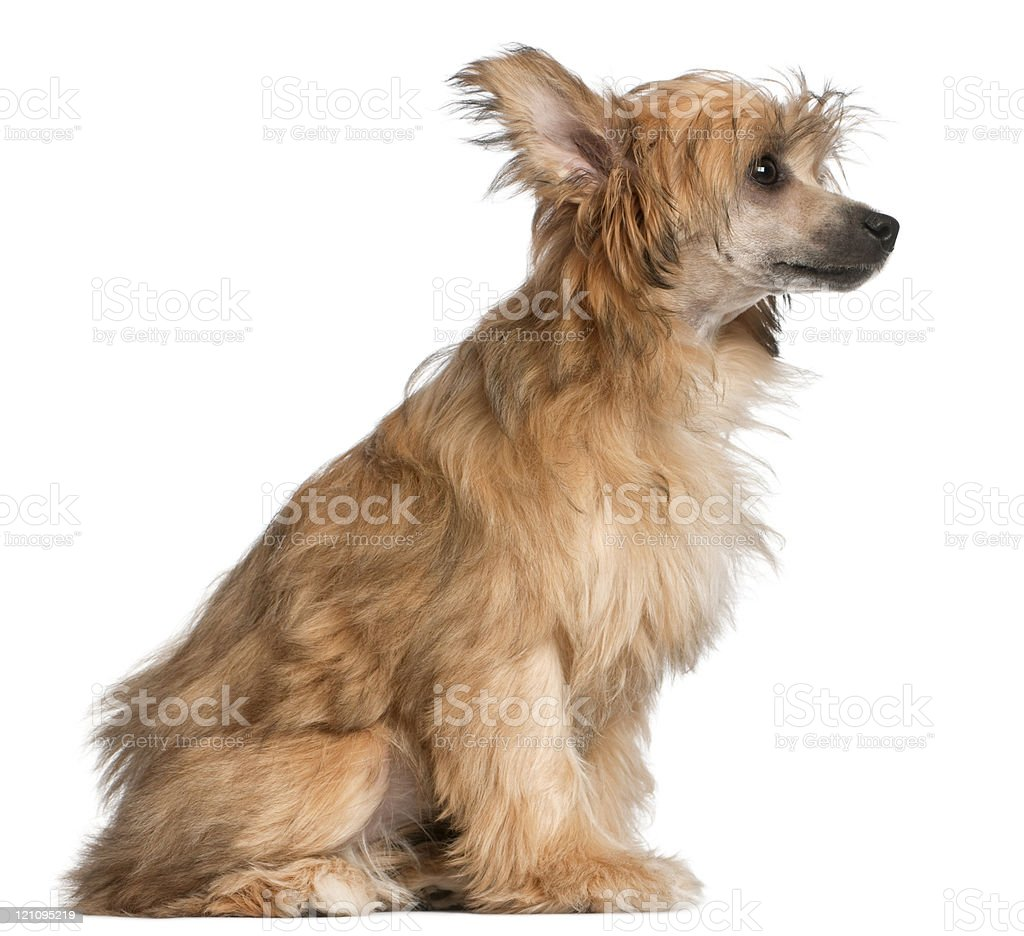 Profile of a Chinese Crested dog sitting, white background. royalty-free stock photo