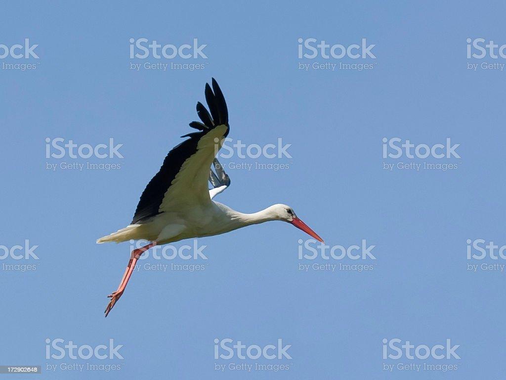 foto de perfil de um cegonha voando e mais banco de imagens de alto