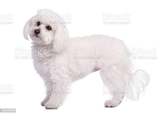 Profile of a maltese dog picture id92025598?b=1&k=6&m=92025598&s=612x612&h=vajcugidiajvnkue2hvpuhhdfj7 bkk0vit8lqyowju=