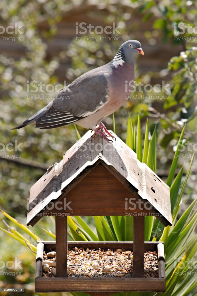 Profile of a perched wood pigeon. stock photo