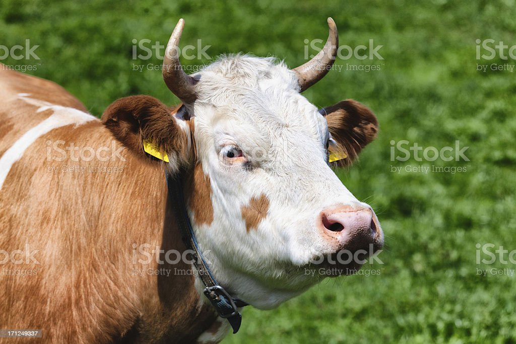 Profile of a Simmental Cow, green pasture, Swiss Alps, Switzerla stock photo