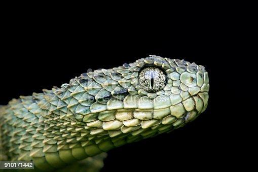 Profile of a Venomous Green Variable Bush (Atheris squamigera) Viper Snake pre-shed