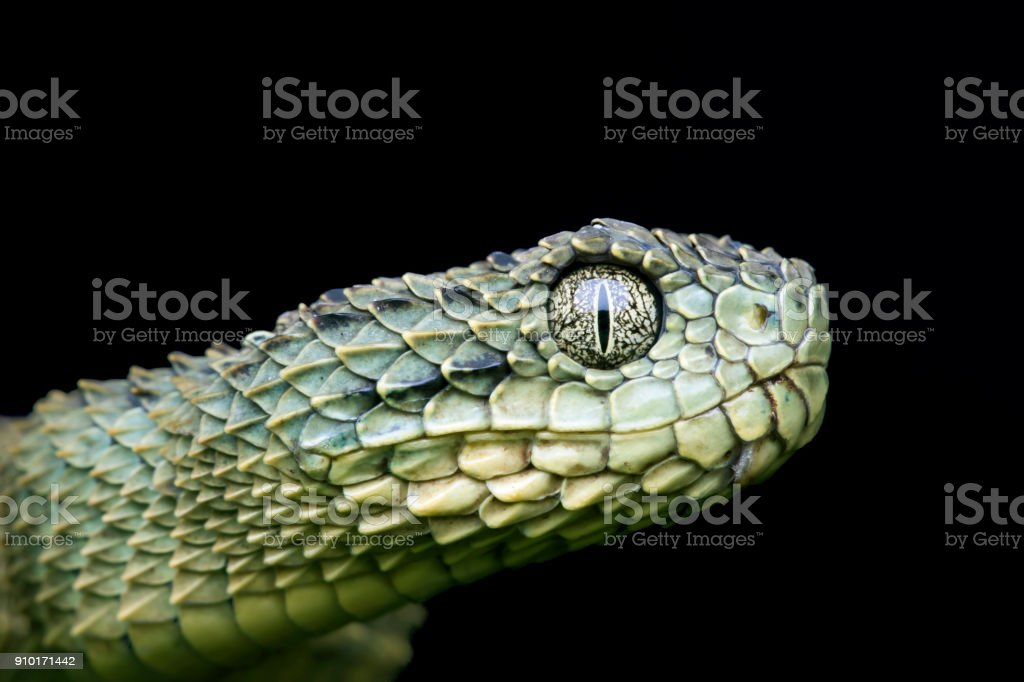 Profile of a Venomous Green Variable Bush (Atheris squamigera) Viper Snake pre-shed stock photo