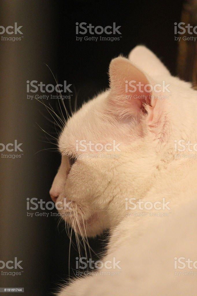 Profile of a White Cat stock photo