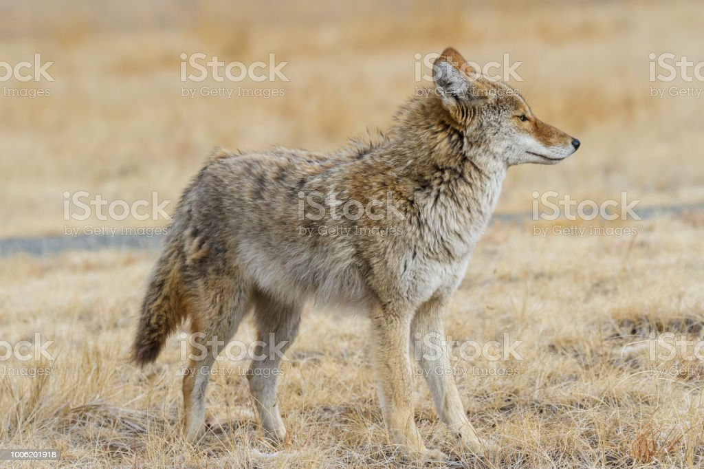 Profile of a Wild Coyote in a Field of Grass stock photo
