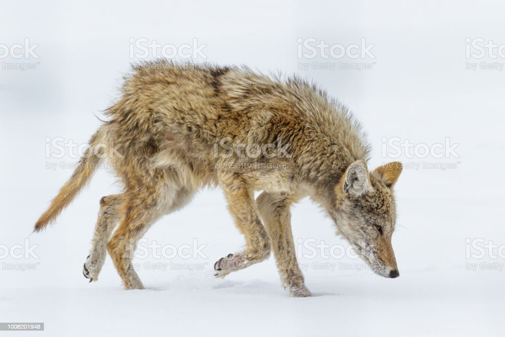 Profile of a Wild Coyote suffering from Mange in a Field of Grass stock photo