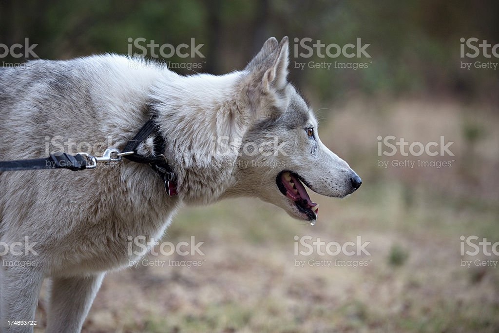 Profile of a Wolf Mix Dog royalty-free stock photo