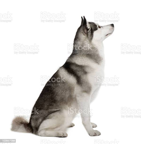 Profile of akita inu sitting and looking up picture id103957098?b=1&k=6&m=103957098&s=612x612&h=6u4yfpyzr6hscbwi7pt8uapqcv20rq0khoe5p4x3y6w=