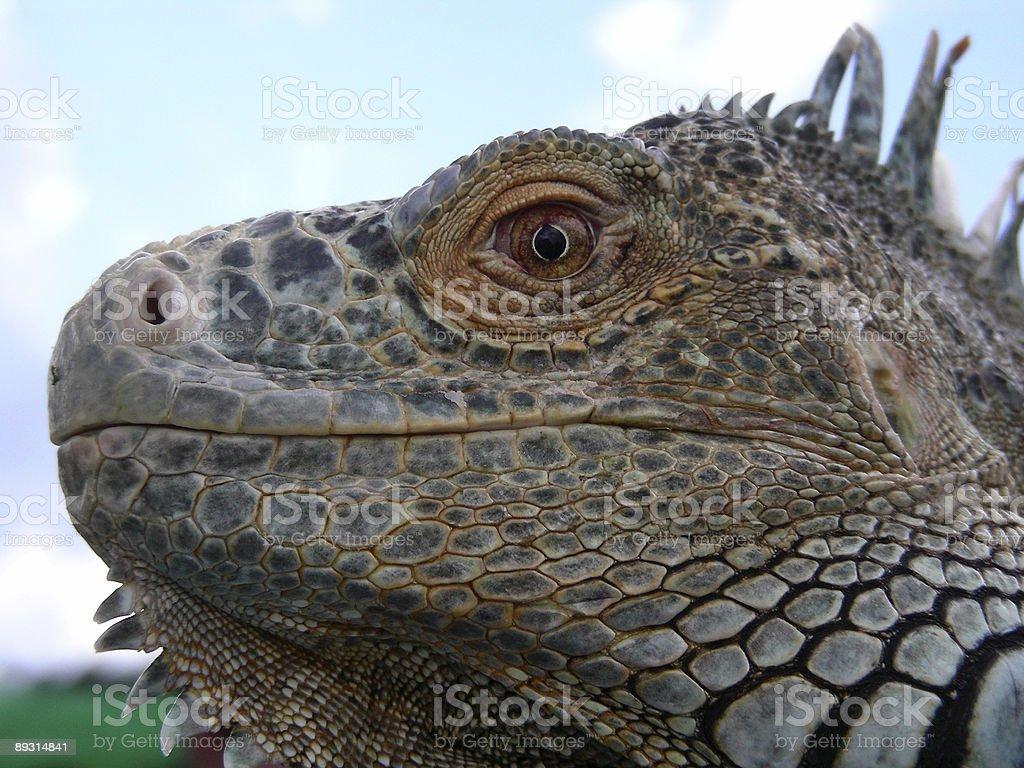 Profile of an Iguana stock photo