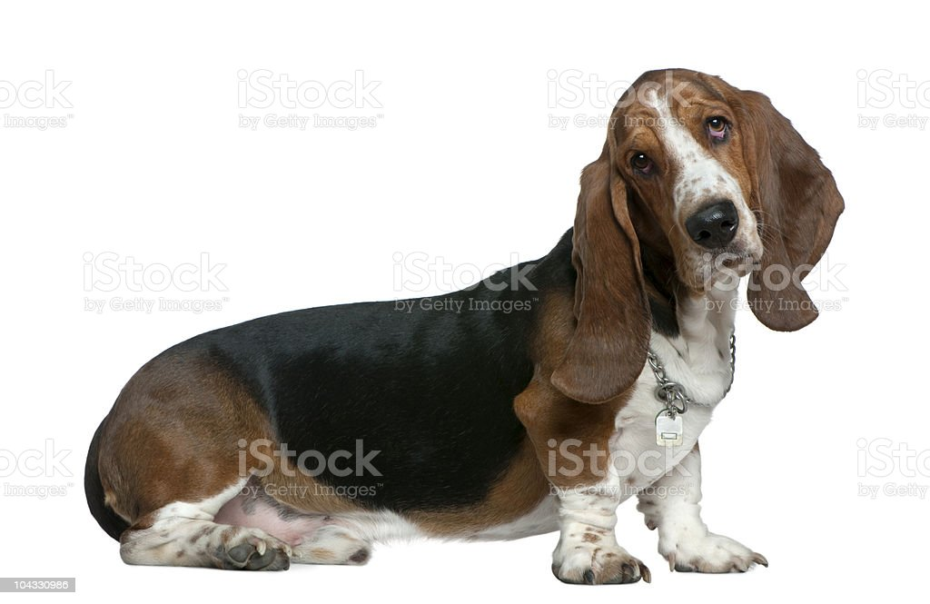 Profile of Basset hound, sitting and looking at the camera stock photo
