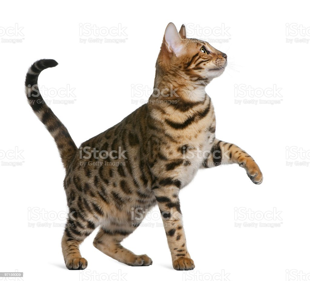 Profile of Bengal kitten standing and looking up stock photo