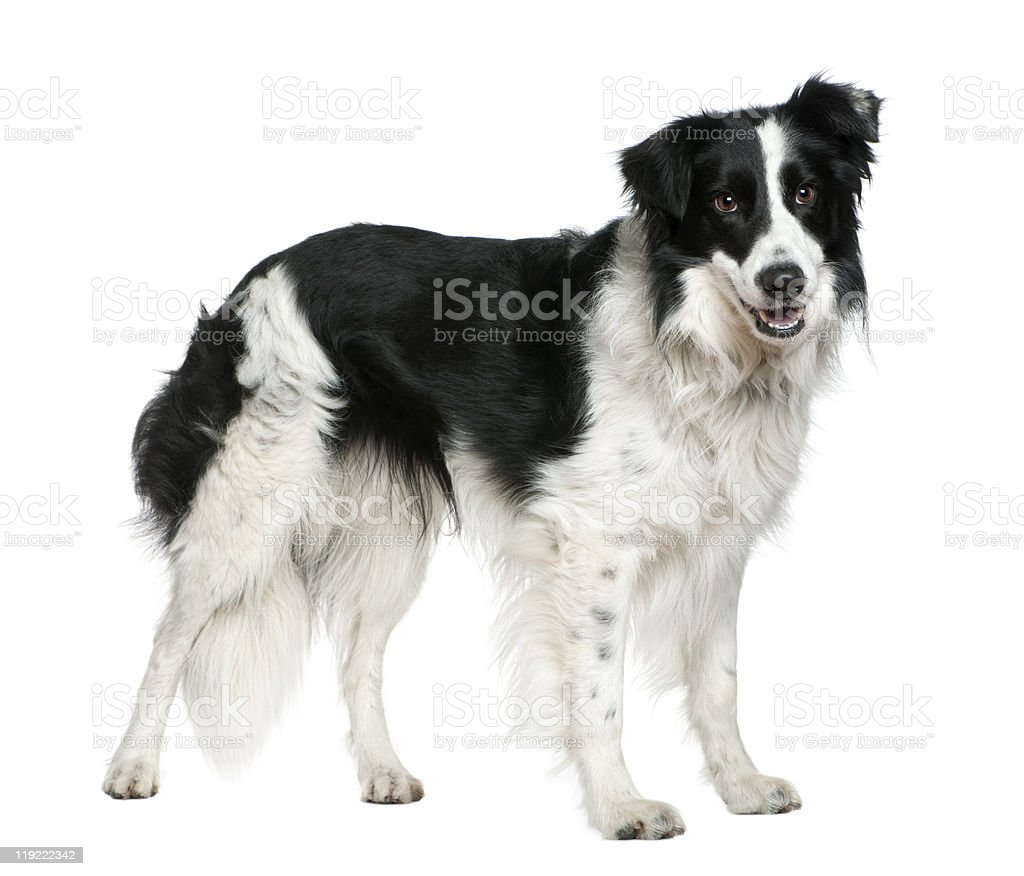 Profile of Border collie, 3 years old, standing. stock photo