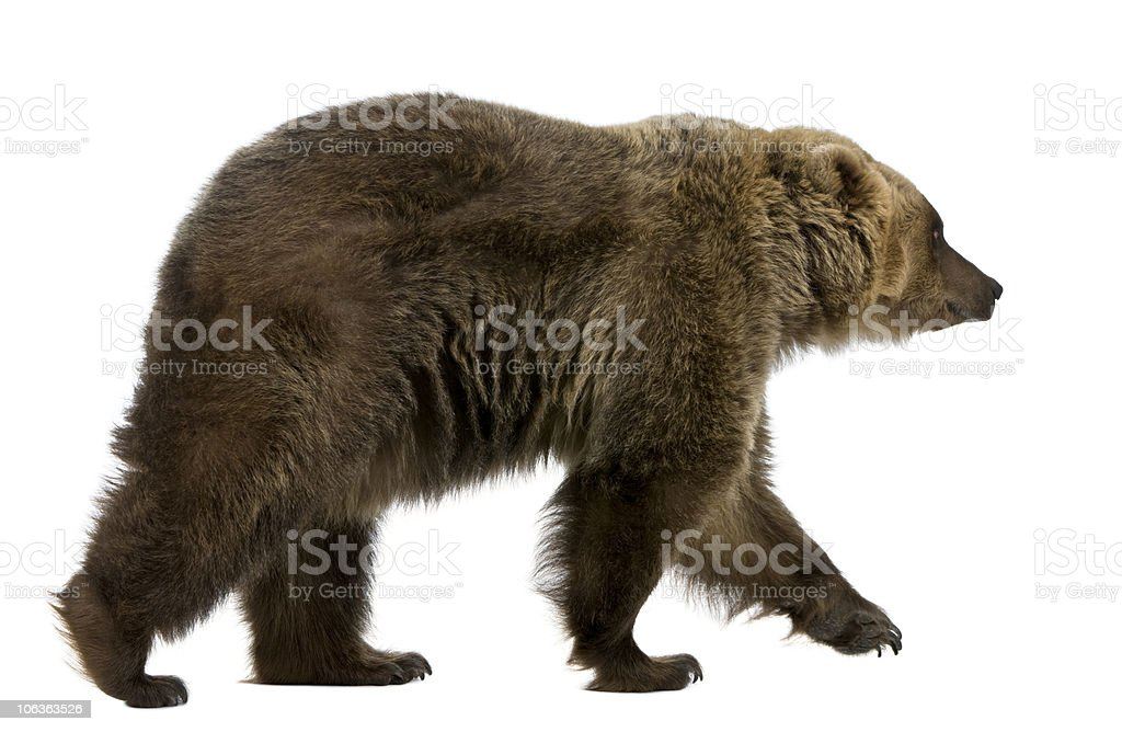Profile of Brown Bear, 8 years old, walking. stock photo
