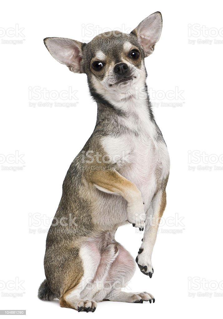 Fotografía de Perfil De Chihuahua En Las Patas Traseras Y Mirando A ...