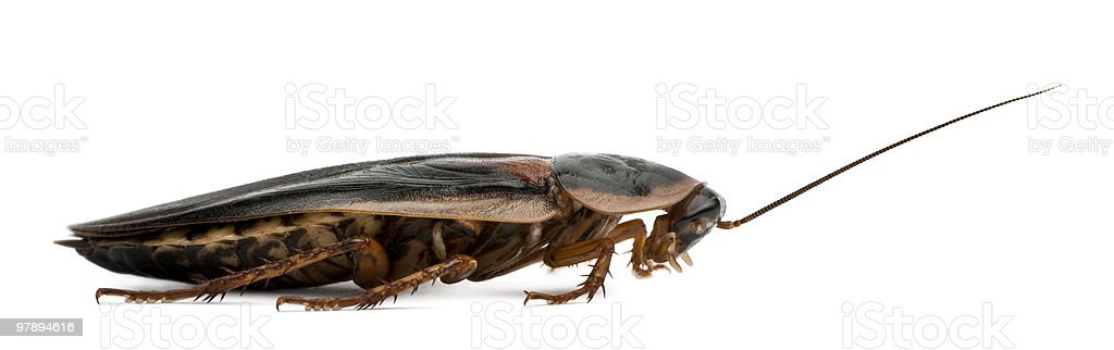 Profile of Dubia cockroach against white background royalty-free stock photo